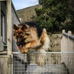 Yeovale Kennels - Annie